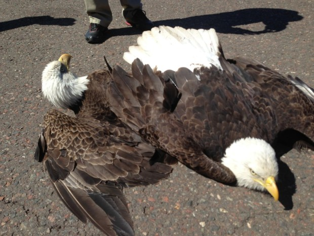 How two bald eagles appeared after crash landing. Photo courtesy of Randy Hanzal, Minnesota Conservation Officer.