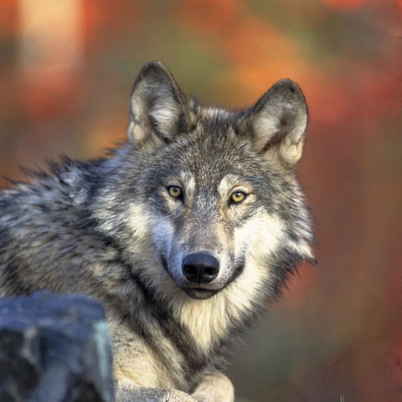The gray wolf (Canis lupus lycaon), also known as the timber wolf, is the largest wild member of the dog family. Found in parts of North America