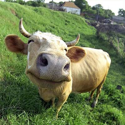 The cow fell eight feet onto Mr de Souza's bed
