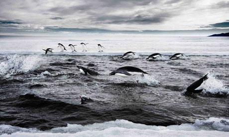 Adélie penguins in the Ross Sea, off Antarctica. Photograph: John Weller/AFP/Getty