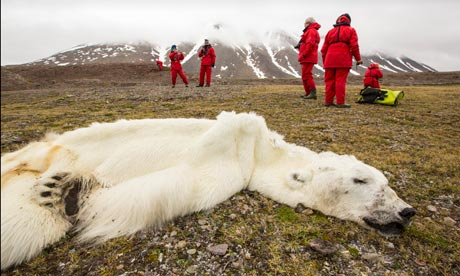 This 16-year-old male polar bear died of starvation resulting from the lack of ice on which to hunt seals. Photograph: Ashley Cooper/Global Warming Images