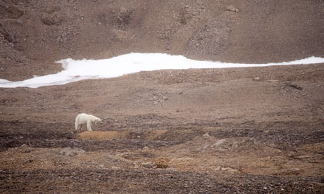 Scientists are tracking polar bears with radio collars in Svalbard, Norway, to monitor their search for food. Photograph: Ashley Cooper/Global Warming Images