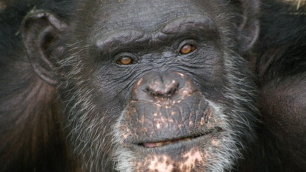 This undated image provided by Chimp Haven, Inc. shows Brent, a chimpanzee at its shelter in Keithville.